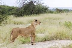 温文地站立在大草原的可爱的雌狮 库存照片