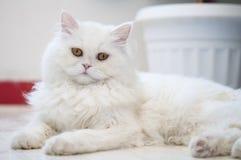 温文地说谎在地板上的一只白色猫 免版税库存图片