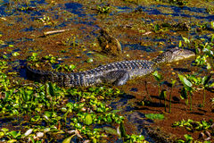 一条野生鳄鱼在Brazos弯国家公园中,得克萨斯沼泽的水域。 库存图片
