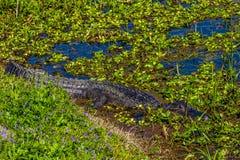 一条野生鳄鱼在Brazos弯中沼泽的水域在春天。 库存照片