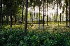温暖的下午阳光通过被遮蔽的象草的草坪的森林 图库摄影