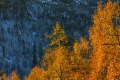 温暖的山毛榉和冷的冷杉对比  库存照片