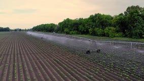 温暖的春日,土豆在领域增长,灌溉由一种特别浇灌的枢轴洒水装置 它浇灌小绿色 股票视频