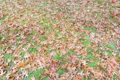 温暖的秋天上色了橡树在草草坪的叶子背景 免版税库存照片