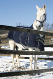 温暖的站立在冬天畜栏农村场面的血液灰色马 库存图片