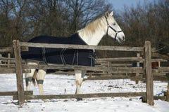 温暖的站立在冬天畜栏农村场面的血液灰色马 免版税图库摄影