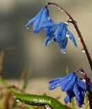 温暖的雨洗涤了被唤醒的柔和的蓝色snowdrop 库存图片