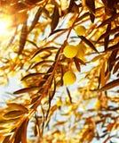 温暖秋天分行橄榄色日落的结构树 免版税库存照片