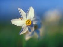温暖黄水仙轻的春天的日落 库存照片