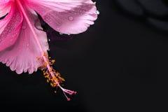 温泉概念桃红色木槿在水中开花和禅宗石头 免版税库存照片