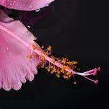 温泉概念桃红色木槿在水中开花和禅宗石头 库存图片