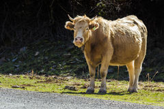 温驯的公牛2 图库摄影