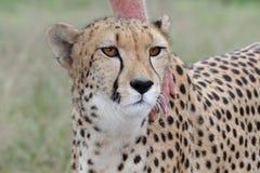 温驯的猎豹 免版税库存照片