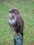 温驯的猎鹰训练寻找 免版税库存照片