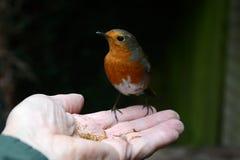 温驯的知更鸟吃从我的手的粉虫 库存图片