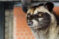 温驯的Luwak -居住在森林的野生灵猫属在亚洲 库存图片