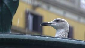 渴从城市喷泉,动物行为观察的海鸥饮用水 股票视频