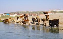 渴从河的母牛饮用水 库存照片