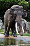 渴的大象 免版税图库摄影