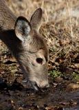渴的小鹿 免版税库存照片
