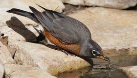 渴的知更鸟 库存照片