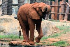 渴的非洲大象 免版税库存照片