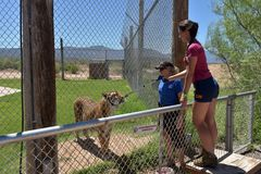 游人喂养老虎在看守者的照料下在野生生物公园 库存图片