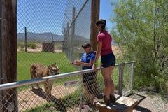 游人喂养老虎在W的看守者的照料下 免版税库存照片