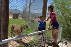 游人喂养老虎在W的看守者的照料下 库存图片