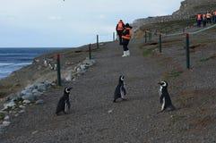 游人在蓬塔阿雷纳斯附近观察在马格达莱纳海岛上的Magellanic企鹅在麦哲伦海峡 图库摄影