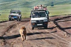 游人在野生非洲狮子的吉普乘坐。 免版税库存图片