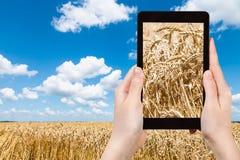 游人拍摄成熟麦子的耳朵在领域的 库存照片