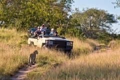 游人观察一头母豹子 免版税库存照片