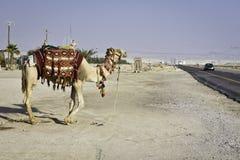 游人骆驼 库存图片