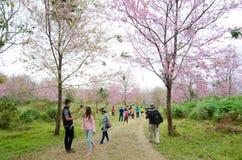 游人满意对您的参观野生喜马拉雅樱桃 免版税图库摄影
