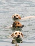游泳三的狗 库存照片
