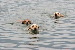 游泳三的狗 免版税库存图片