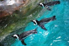 游泳三的非洲企鹅 免版税库存照片