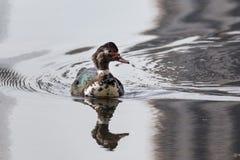 游泳与反射的俄国鸭子在水中 库存照片