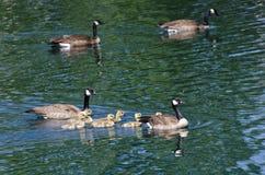 游泳与父母的逗人喜爱的小的幼鹅 图库摄影