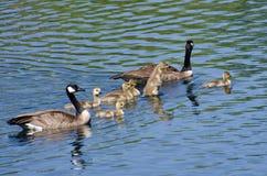 游泳与父母的逗人喜爱的小的幼鹅 免版税库存照片