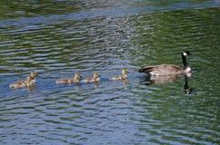 游泳与父母的逗人喜爱的小的幼鹅 库存图片