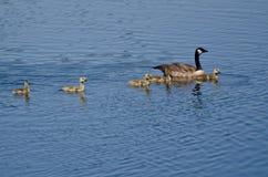 游泳与父母的逗人喜爱的小的幼鹅 库存照片