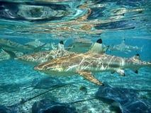 游泳与鲨鱼! 免版税库存照片