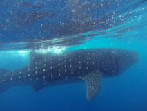 游泳与鲸鲨 库存照片
