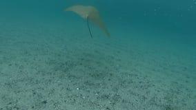游泳与黄貂鱼 股票视频
