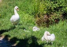 游泳与他们的池塘的父母一起的两星期老疣鼻天鹅婴孩 库存图片