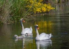 游泳与他们的池塘的父母一起的两星期老疣鼻天鹅婴孩 库存照片