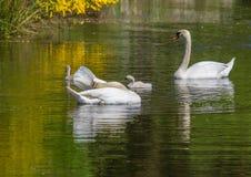 游泳与他们的池塘的父母一起的两星期老疣鼻天鹅婴孩 免版税库存图片
