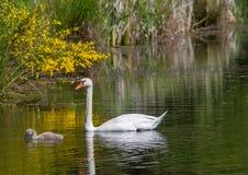 游泳与他们的池塘的父母一起的两星期老疣鼻天鹅婴孩 免版税图库摄影